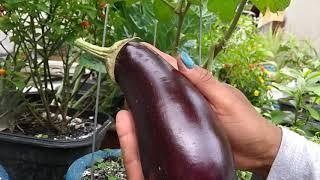 Minha horta na laje / Colheita berigelas e pimenta biquinho