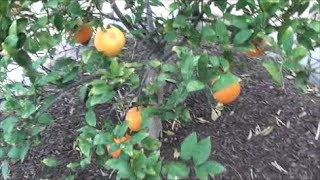 Navel Citrus Tree Update | Growing Food In The Arizona Desert