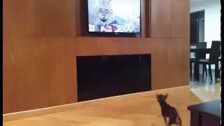 Chihuahua watching TV -Собака эмоционально смотрит телевизор )))