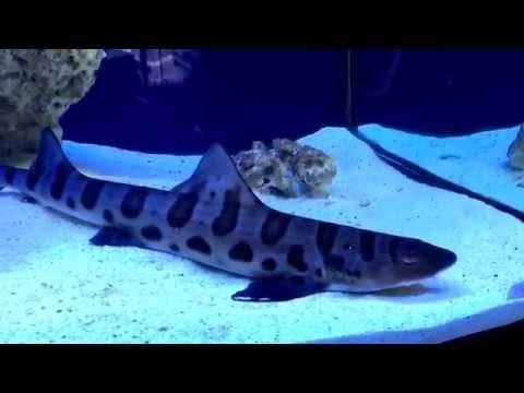 Predator Tank of Terror - Horn Shark Leopard shark sand shark moray eel ghost eel hawk Fish