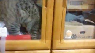 【猫】閉じ込められて右往左往なメイちゃん(=^・^=)~~~The cat which was shut in. After having appeared; dejectedly.~~~