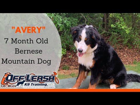 "7 Month Old Bernese Mountain Dog ""Avery"" | Any Breed | Atlanta Dog Trainer"