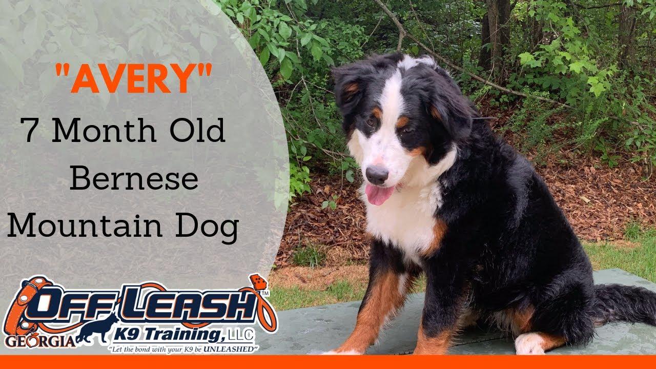 7 Month Old Bernese Mountain Dog Avery Any Breed Atlanta Dog Trainer