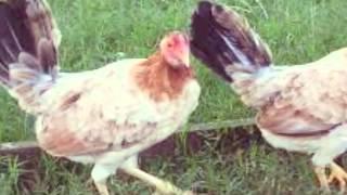 Los mejores gallos de México son de granja greer