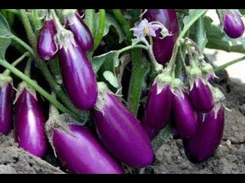 Brinjal Agriculture - Brinjal Farming - Cultivation Of Brinjal - Production Technology Of Brinjal