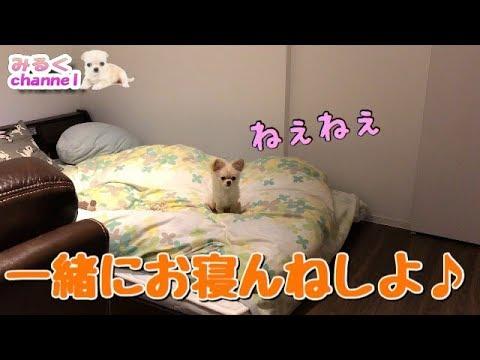 🔴一緒に寝ようと誘ってくる子犬チワワが可愛い【みるく】【dog】【puppy】