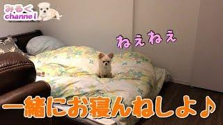 子犬 #チワワ #みるく 一人で寝るの寂しかったかな?(*´ω`*) ◇チャンネ...