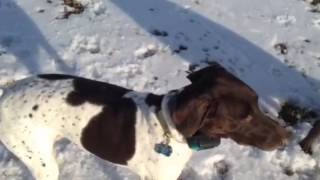 Off Leash With Marco The German Shorthair Pointer