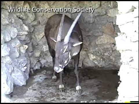 The Elusive Saola -- Earth's Rarest Antelope   Unique Video