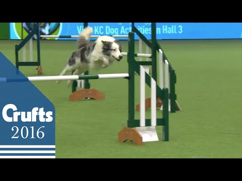 Agility - Championship - Round 1 - Jumping | Crufts 2016