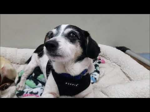 Curry, a male Beagle mix at Muttville-adopted