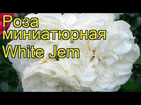 Роза миниатюрная Уайт Джем. Краткий обзор, описание характеристик, где купить саженцы White Jem