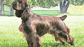 Field Spaniel Brief History of breed of dog lovers Field Spaniel facts origins background 101