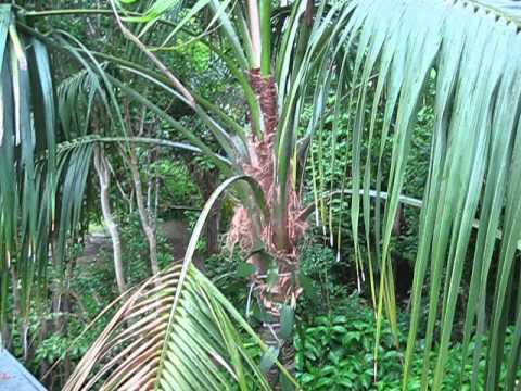 Howea forsteriana Large Kentia Palm