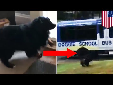 sekolah-khusus-anjing;-video-viral-anjing-semangat-pergi-ke-sekolah---tomonews