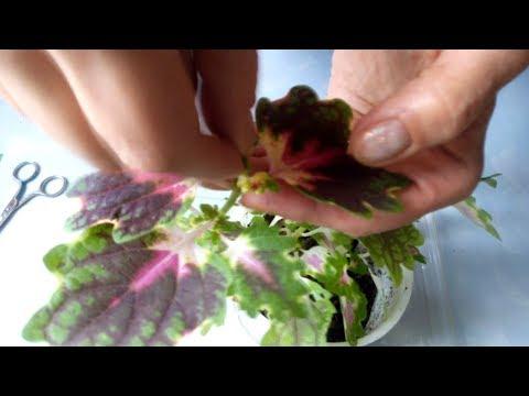 Вопрос: От чего колеусы меняют цвет листьев?