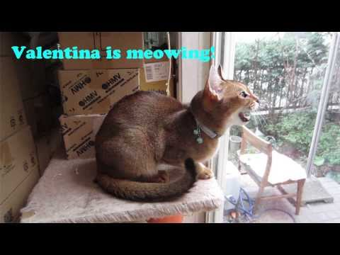 Abyssinian 'Valentina' is meowing.