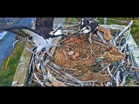 St  John's Newfoundland Island Ospreys 6 18 17 532am Intruder & Fish Delivery