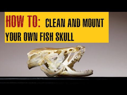 HOW TO CLEAN A FISH SKULL | Northern SNAKEHEAD Fish Skull