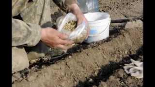 Как сажать календулу / Когда сажать календулу в грунт(Как сажать календулу или когда посадить цветок календула в грунт. Видео ролик о правильной посадки в грунт..., 2015-06-03T13:20:41.000Z)