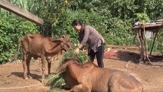 Phú Yên chủ động bảo vệ đàn gia súc trước nguy cơ dịch bệnh