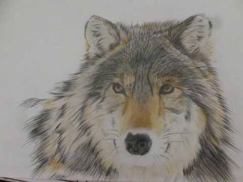 Disegno lupo con matite colorate youtube for Disegni di lupi facili