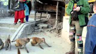 Funny video about dancing monkeys .Смешное видео о танцах с обезьянами.