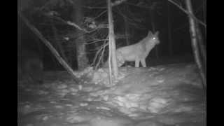 Meute de coyote a St-Amable