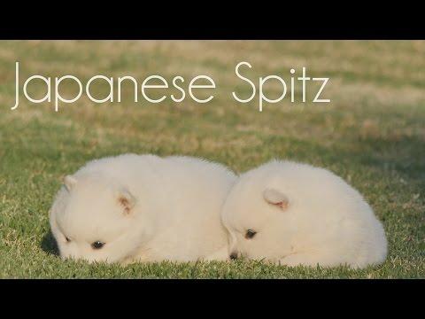 Japanese Spitz RYFD