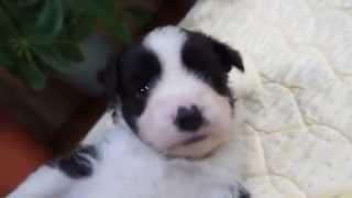 関西・近畿のボーダーコリー子犬販売 http://www.moo-pon.com/border 奈...