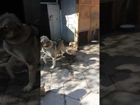 Казахстан Тараз (Джамбул)Собака  Алабай купил
