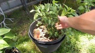 Plant: Super Cayenne Pepper, exploring hot pepper plants, growing variety's of hot peppers