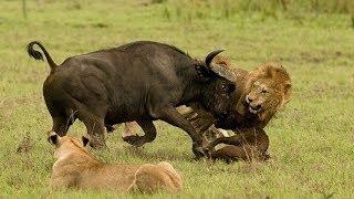 Lion vs Buffalo   Lion Hunt Buffalo in the River   Wild Animals