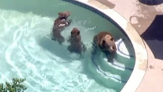 Dog Scares off Bear Family Having a Swim