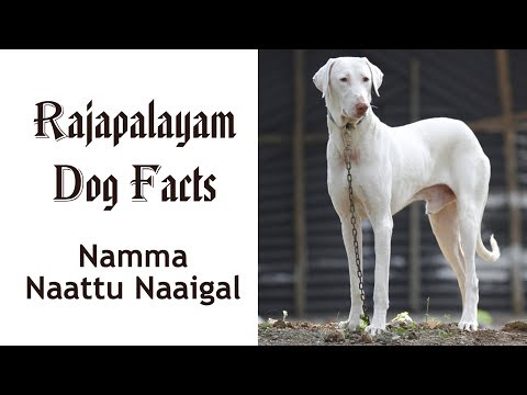 Rajapalayam Namma Naattu Naaigal Facts in Tamil | Best Dog | Tamizhar Dharavi