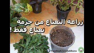 طريقة زراعة النعناع من حزمة نعناع من الخضري فقط