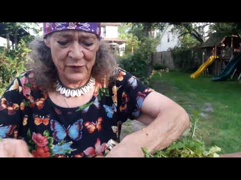 Making Dandelion root tincture - Easy Herbal Medicine with Susun Weed