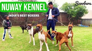 All About Boxer Breed | Boxer Breed Information And Breed Standards | NUWAY KENNEL AMBALA | SCOOBERS