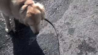 Kasey First Workout On Remote Collar