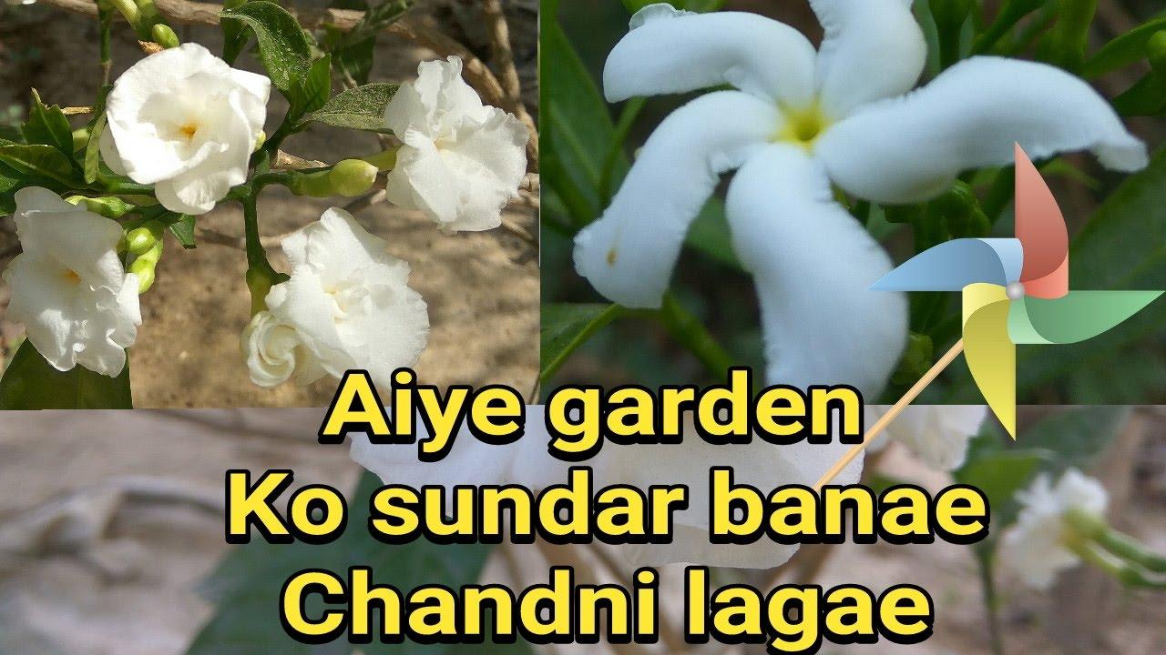 How To Grow Chandni Taggar Crape Jasmine Plants Youtube
