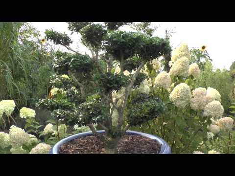 bonsai gestalten die anleitung zum erfolg mit einem kirschlorbeer funnydog tv. Black Bedroom Furniture Sets. Home Design Ideas