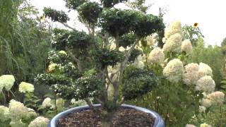 Buchsbaum Buxus Boxwood, schneiden zum Bonsai. Cutting Boxwood remake