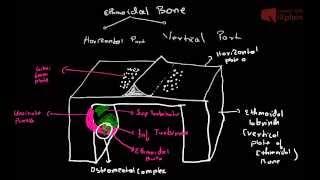 ethmoidal bone