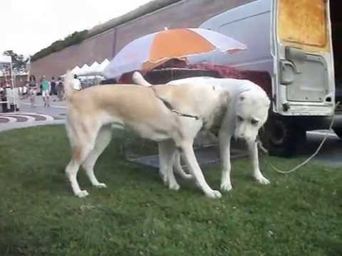 Central Asian Shepherd Dog GELIN and YUSUF playing