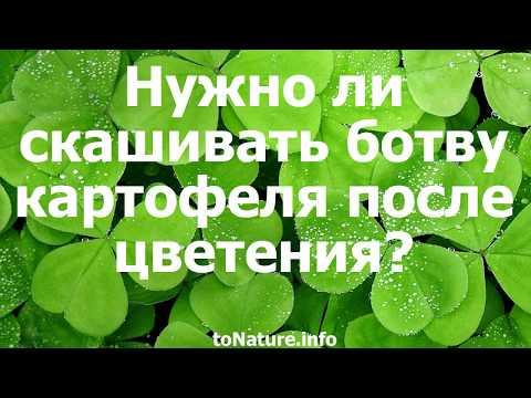 Вопрос: Что за зелёные плоды появляются у картофеля после цветения?