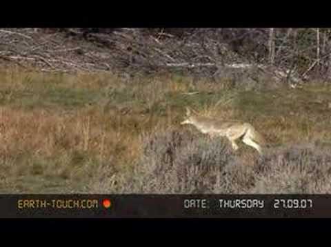 Coyote hunts in Yellowstone