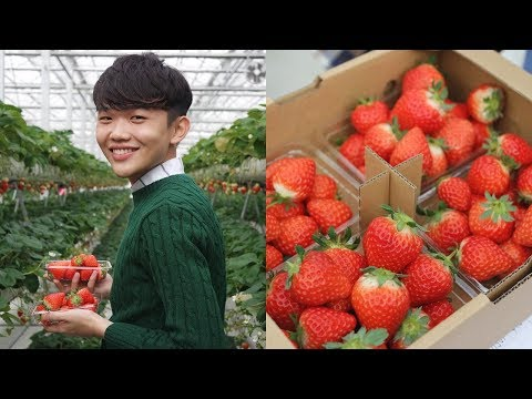 Sweetest Strawberry Picking in Japan! - Travel to Mount Aso, Kumamoto, Japan