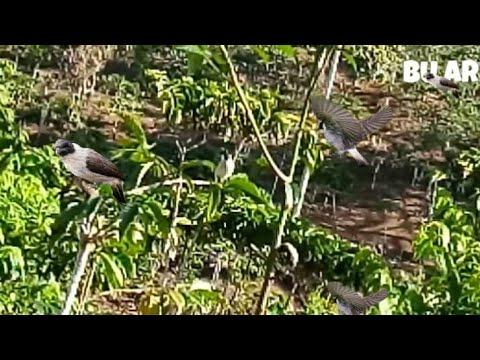 Burung kutilang pikat gacor suara keras pemanggil burung liar langsung JoS