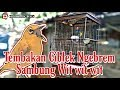 Pleci Tembakan Ciblek Ngebrem  Mp3 - Mp4 Download
