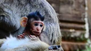 Cutest newborn monkey in this troop, Adorable newborn monkey